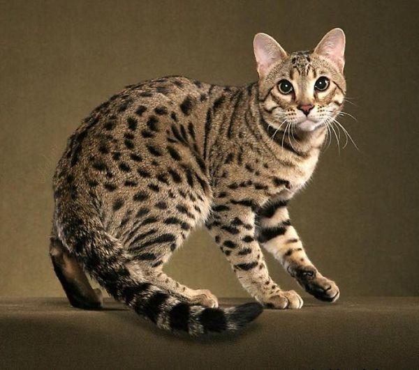 Fotos de gatitos bengala