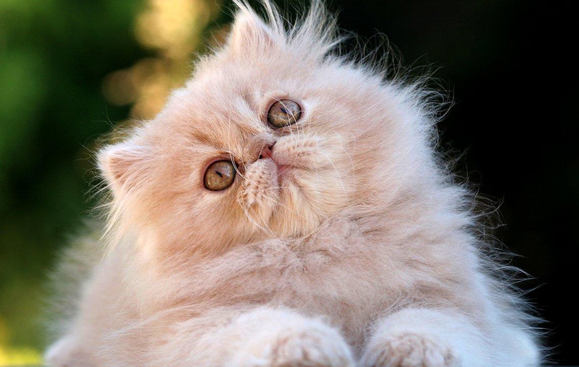 Fotos de gatitos persa