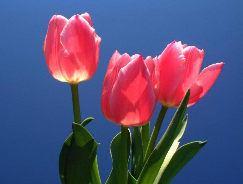 Imagenes de flores tulipan