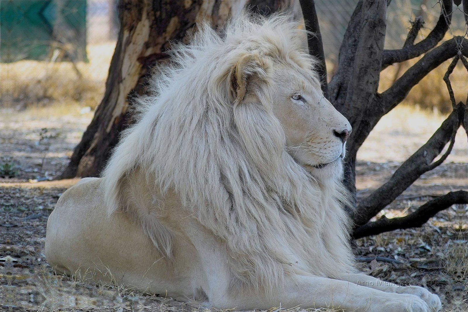 Imagenes de leones blanco