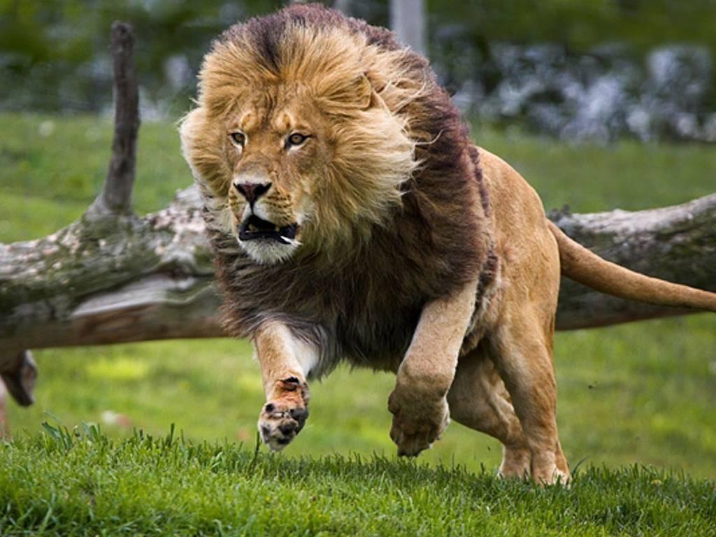 Imagenes de leones online