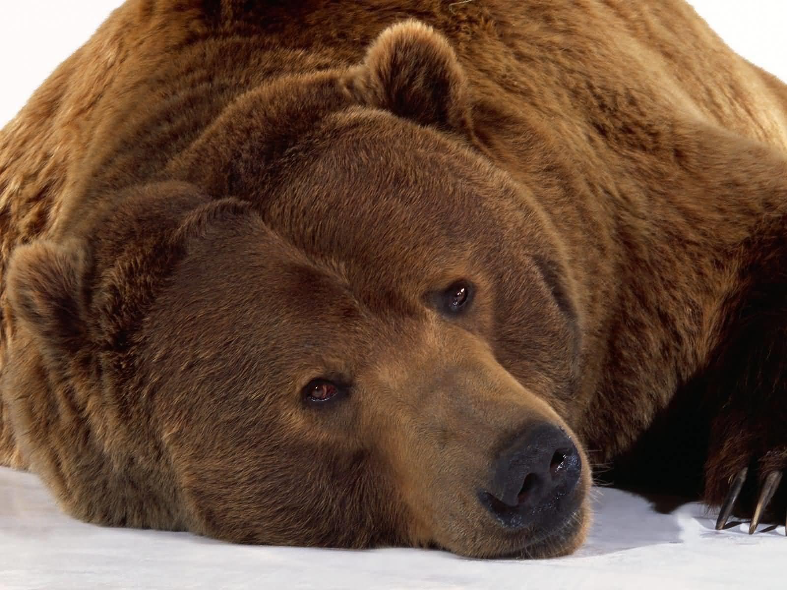 Imagenes de osos pardo