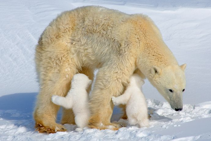 Imagenes de osos polares