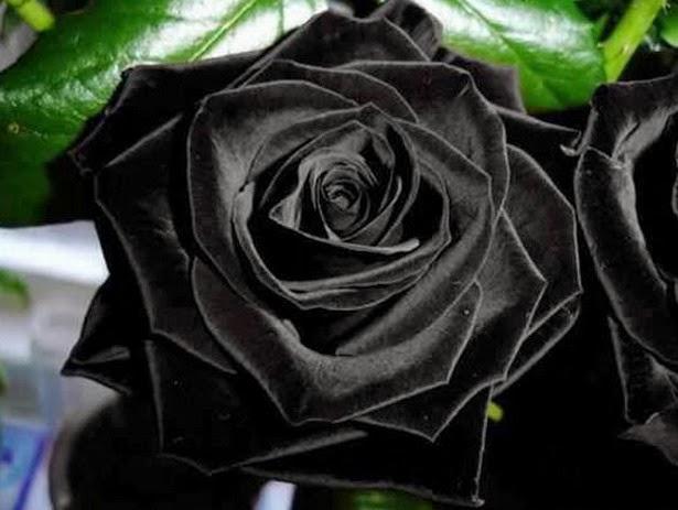 Imagenes de rosas negras